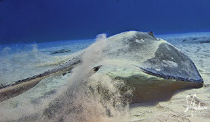 &quot;Takeoff&quot; This image of a large Atlantic Sting Ray was ta... by Steven Anderson 